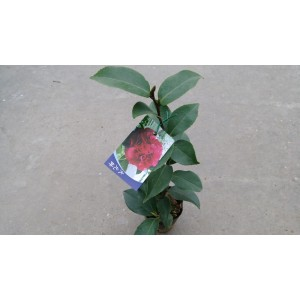 茶花(品種:大元帥) 花卉盆栽