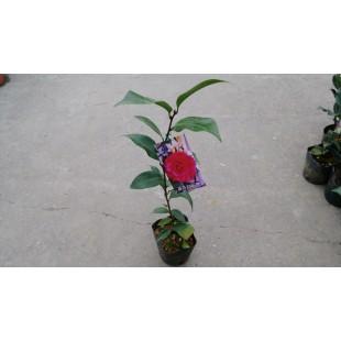 茶花(品種:喬治亞玫瑰) 花卉盆栽