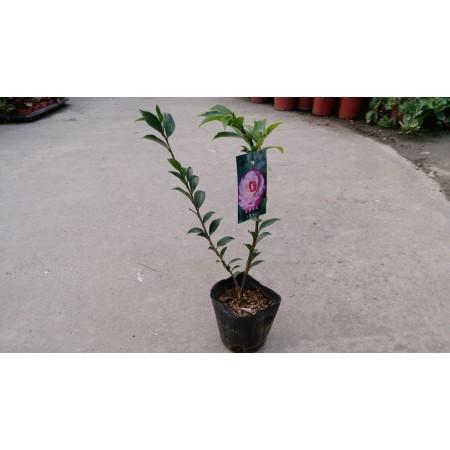 茶花(品種:芙蓉香波) 花卉盆栽