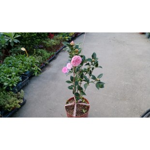 干貝兒 花卉盆栽