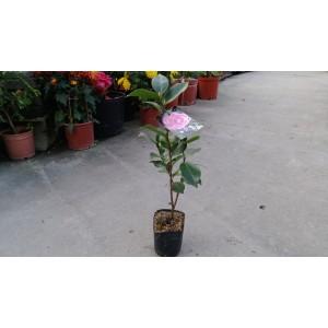 茶花(品種:粉九曲) 花卉盆栽
