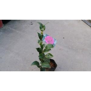 茶花(品種:超級克拉瑪) 花卉盆栽