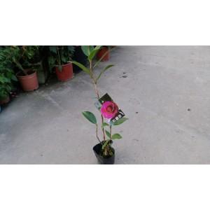 茶花(品種:紅觀音) 花卉盆栽