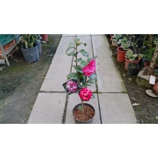 花貝拉 花卉盆栽