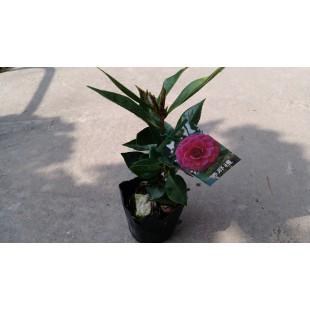 茶花(品種:佛那禮) 花卉盆栽