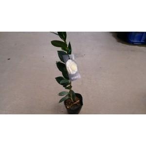 茶花(品種:戴羅尼加) 花卉盆栽