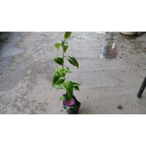 茶花(品種:紫雲片) 花卉盆栽