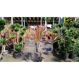 五彩千年木 花卉盆栽