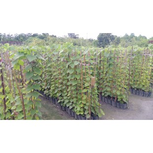 大鄧伯 爬藤植物 花卉盆栽