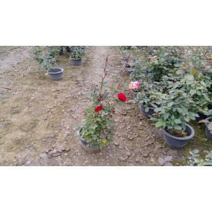 玫瑰(品種:小紅帽) 花卉盆栽