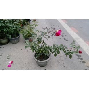玫瑰(品種:橙色泡沫) 花卉盆栽