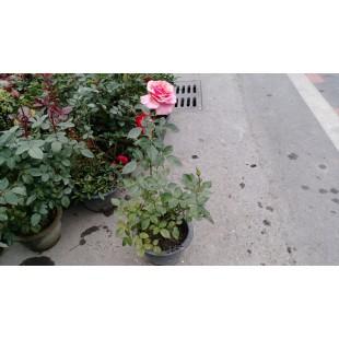玫瑰(品種:玫瑰競賽) 花卉盆栽