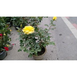玫瑰(品種:柔美之黃) 花卉盆栽