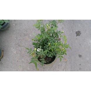 玫瑰(品種:白露斯塔) 花卉盆栽