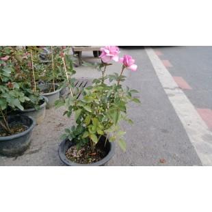 玫瑰(品種:夢香) 花卉盆栽