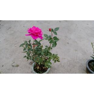玫瑰(品種:洋紅香水) 花卉盆栽