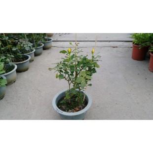玫瑰(品種:福利吉亞) 花卉盆栽
