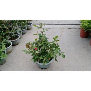 玫瑰(品種:嗚拉拉) 花卉盆栽