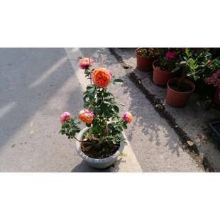 玫瑰(品種:浪漫寶貝) 花卉盆栽