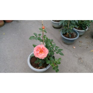 玫瑰(品種:人間天堂) 花卉盆栽
