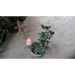 玫瑰(品種:現代) 花卉盆栽