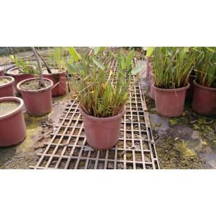 水竹芋 花卉盆栽