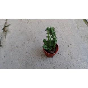 小若綠  多肉植物