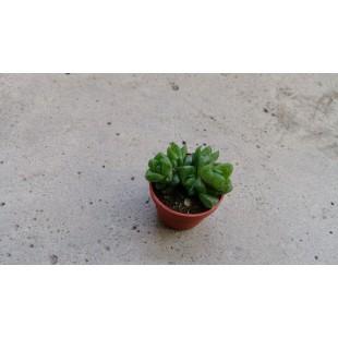 玉露  多肉植物