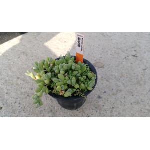 碧魚蓮 多肉植物