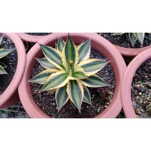 五色萬代 多肉植物