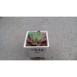 七福美尼 多肉植物