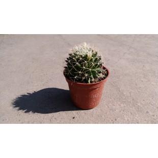 白星  多肉植物