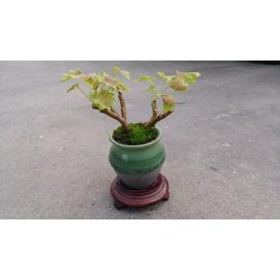 楓葉天竺葵(瓷盆) 特色小品