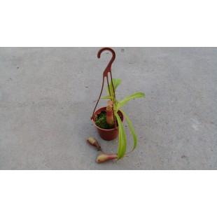 豬籠草 花卉盆栽