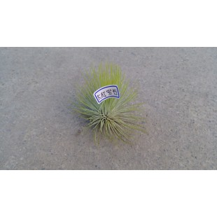 空氣鳳梨(品種:大紅寶石) 特色小品