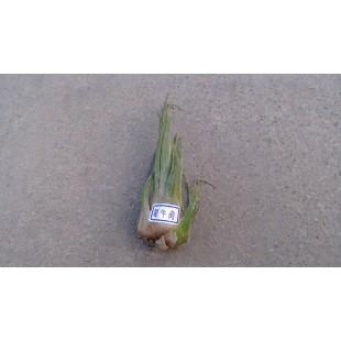 空氣鳳梨(品種:犀牛角) 特色小品