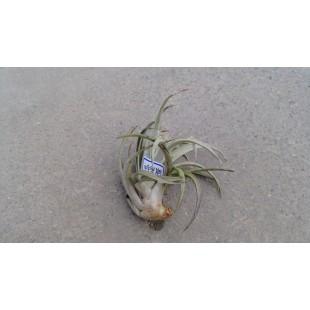 空氣鳳梨(品種:哈里斯) 特色小品