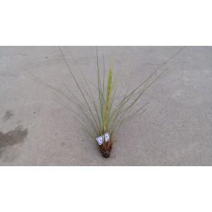 空氣鳳梨(品種:大三色) 特色小品