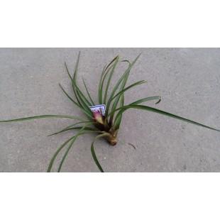 空氣鳳梨(品種:球拍) 特色小品