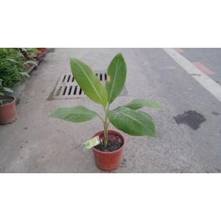 芭蕉  果樹植栽