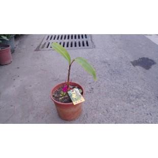 美人蕉  果樹植栽