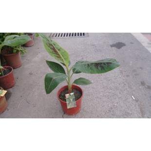 矮蕉  果樹植栽