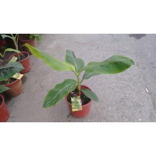 蛋蕉  果樹植栽