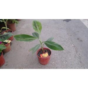 北蕉  果樹植栽
