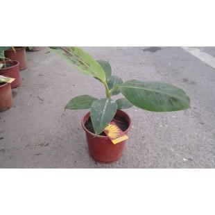 新北蕉  果樹植栽