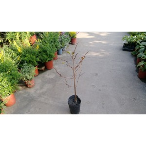 大果釋迦  果樹植栽