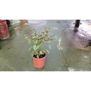 珍珠五彩椒  果樹植栽