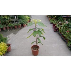 可可亞  果樹植栽