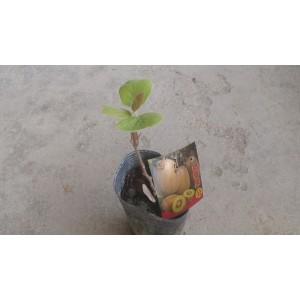 奇異果  果樹植栽
