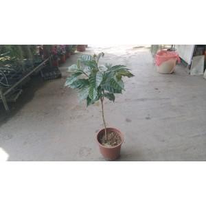 咖啡樹  果樹植栽